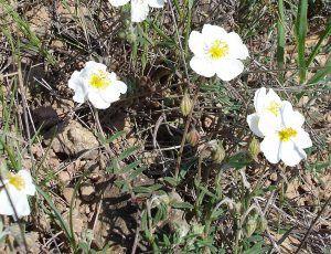 Helianthemum apenninum - Planta de las turmas