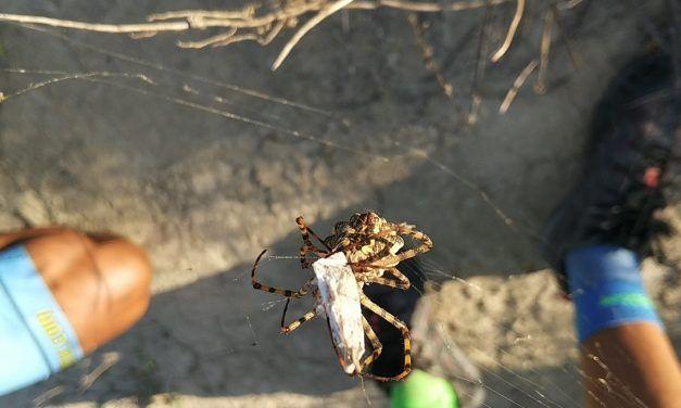Crónica ruta MTB Exploración por Los Conejos Los Valientes Rambla Salada con araña tigre cazando saltamontes